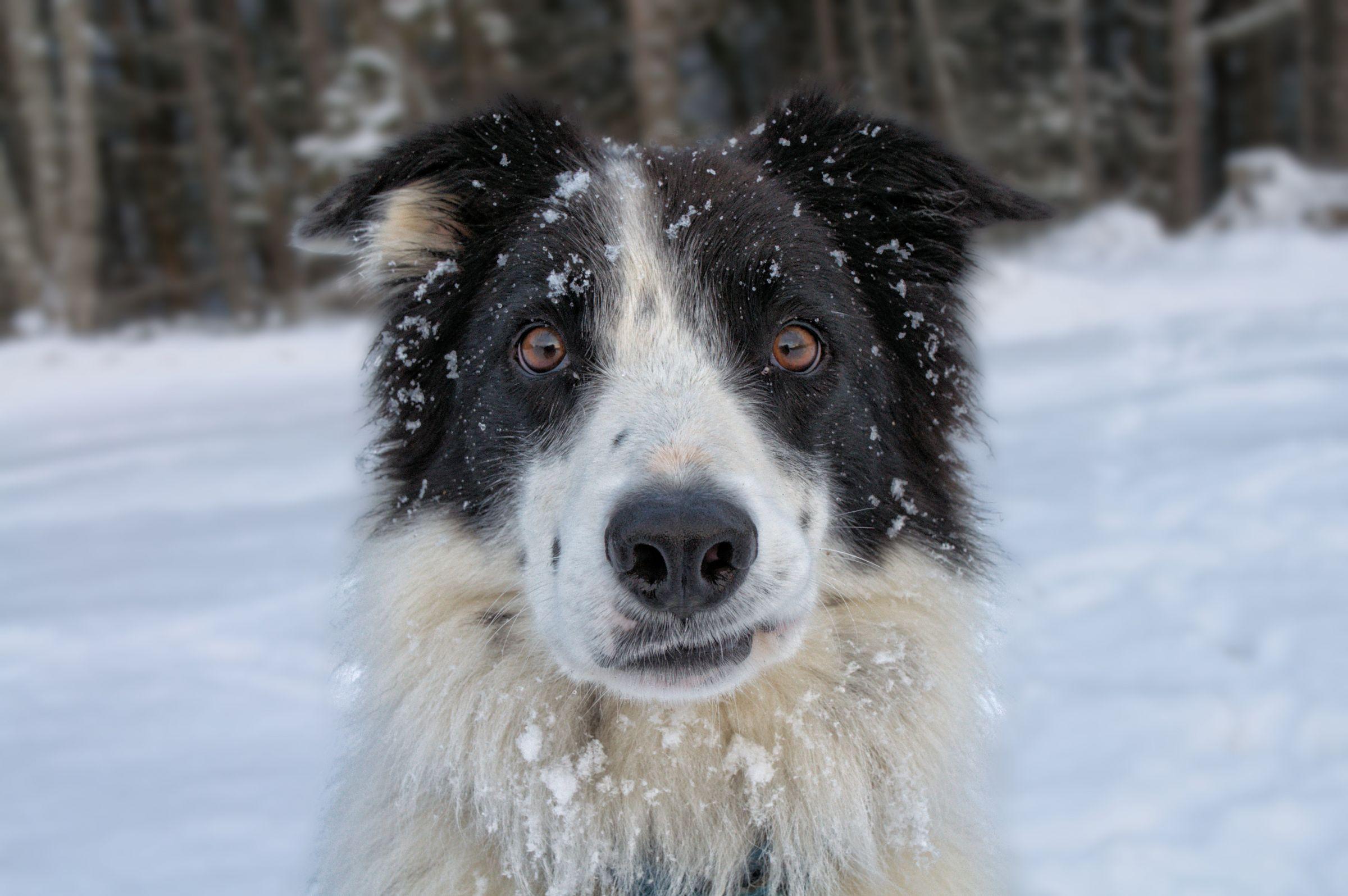 Border Collie Information - Dog Breeds at NewPetOwners