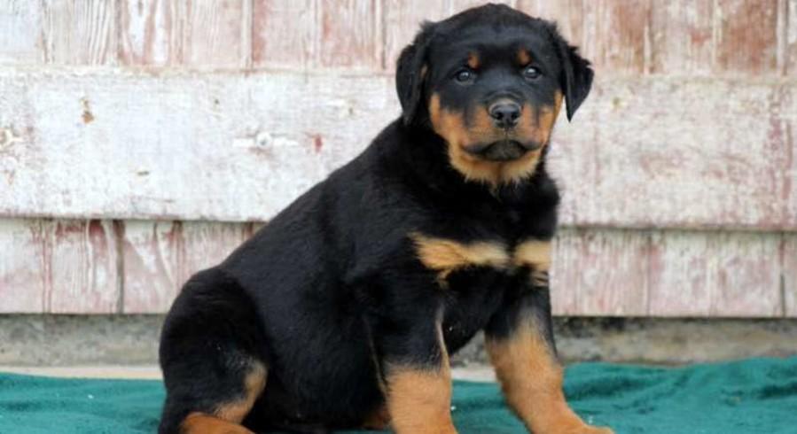 Esmond Rottweilers - BOSS Am/Can/UKC CH Cammcastles